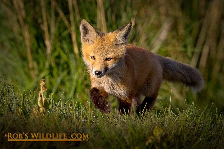robs fox