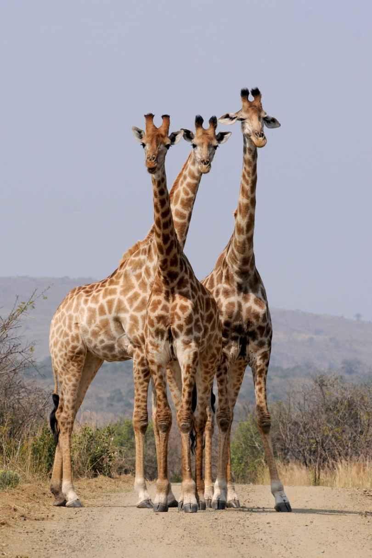 south-africa-hluhluwe-giraffes-pattern.jpg