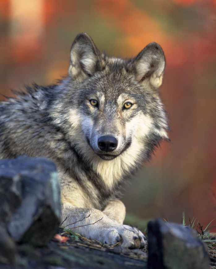 nature animal wolf wilderness