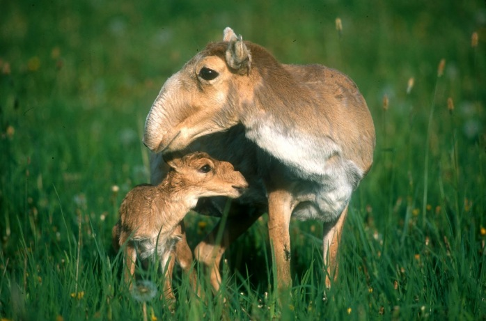 Saiga_calf__Reading_