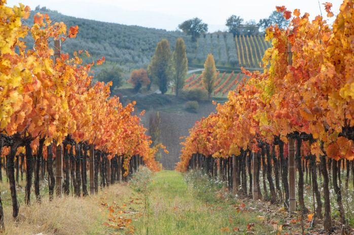 Italian-vineyard-in-autumnal-foliage-and-Sagrantino-grapes-in-Italy-Umbria-Montefalco